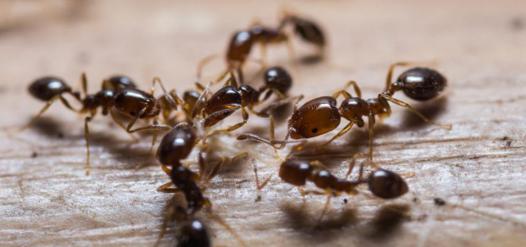 fourmis se débarrasser