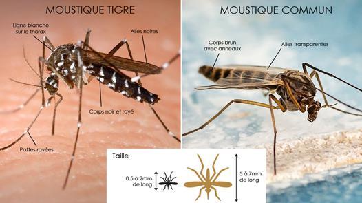 moustique silencieux
