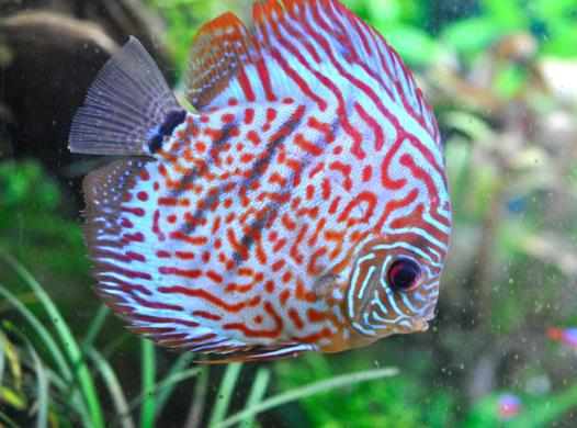 poissons d aquarium d eau chaude