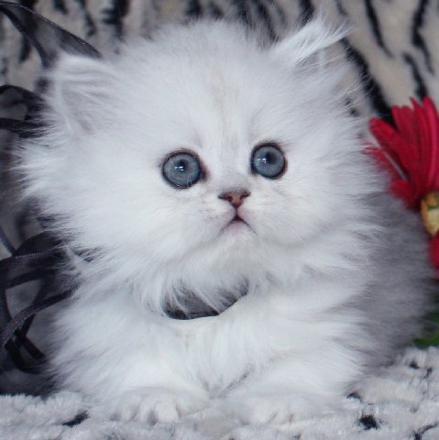 un chaton mignon blanc
